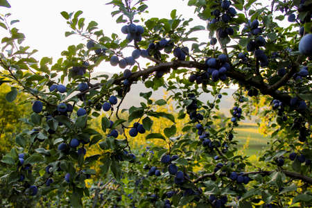 Large branch with lots of ripe plums. Ripe blue plums on a branch. Zavidovići, Bosnia and Herzegovina. 写真素材