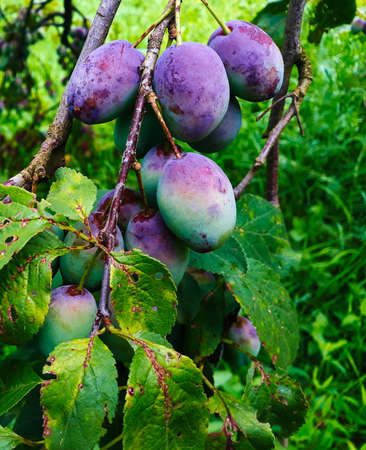 Unripe plums on the branch, the plums begin to blue. Orchard plum. Zavidovici, Bosnia and Herzegovina.