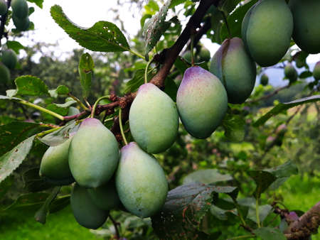 Green plums on the branch on which begins to appear blue. Zavidovici, Bosnia and Herzegovina.