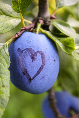 A blue ripe plum with a heart drawn on it. Vertical shot. Zavidovići, Bosnia and Herzegovina.