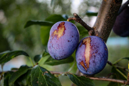 Two plums with damage to the plums on the tree. Zavidovici, Bosnia and Herzegovina.