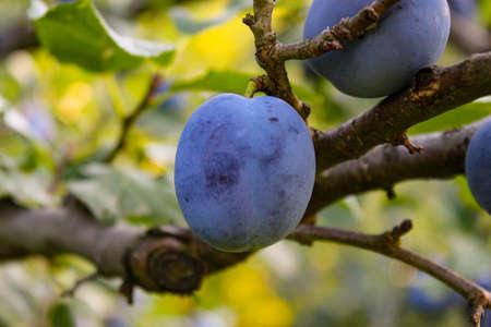 Blue plums on a tree. Zavidovici, Bosnia and Herzegovina.