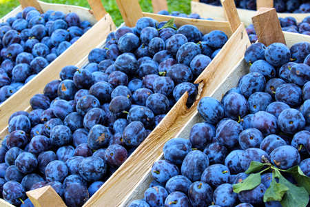 Lots of blue plums in wooden crates. Displayed for sale on the market. Zavidovici, Bosnia and Herzegovina. 写真素材