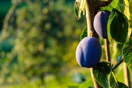Two blue ripe plums on a branch with a leaf with a blurred background. Ideal background for copy text. Zavidovići, Bosnia and Herzegovina.