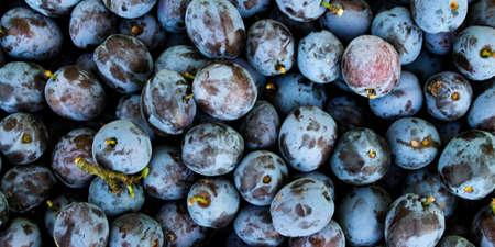 Banner of fresh ripe plums as a background. Zavidovici, Bosnia and Herzegovina. 写真素材