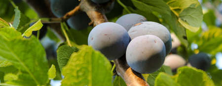 Banner. Ripe plums among the leaves on the branch. Zavidovici, Bosnia and Herzegovina.