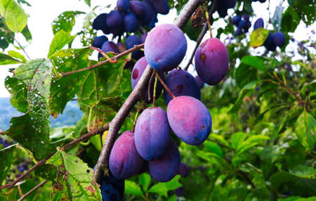 Blue, ripe plum fruits on a branch with leaves on the tree, plums almost ready to harvest. Orchard plum. Zavidovici, Bosnia and Herzegovina.