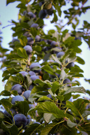 Vertical shot branches with lots of blue plums and lots of leaves. Zavidovici, Bosnia and Herzegovina.