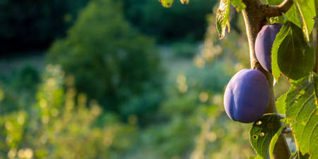 Banner. Plums on a branch with leaves in a plum orchard. Ripe plums. Copy text. Blurred background. Zavidovići, Bosnia and Herzegovina. 写真素材