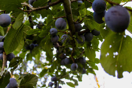 The branch on which the plums are ripe. Plum orchard. Ripe blue plums on a branch. Zavidovići, Bosnia and Herzegovina.