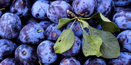 Banner of blue plums with few leaves on top of them. Zavidovici, Bosnia and Herzegovina.