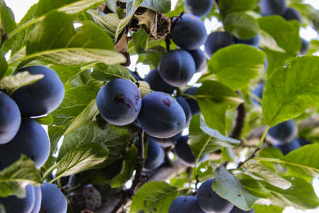 Lots of blue ripe plums among the leaves, photographed under the branch. Zavidovići, Bosnia and Herzegovina. 写真素材