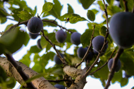 Plum branch on which they have ripe plums and leaves. Zavidovici, Bosnia and Herzegovina.