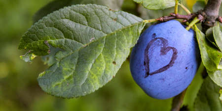 Banner. A blue ripe plum with a heart drawn on it. In addition to the ripe plum there is a leaf that is damaged which is in the shape of a heart. Zavidovići, Bosnia and Herzegovina.