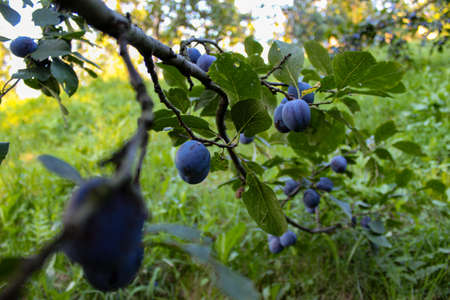 Branch with plums and leaves. Plum orchard. Ripe blue plums on a branch. Zavidovići, Bosnia and Herzegovina. 写真素材
