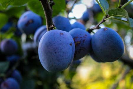 A group of large round plums on a branch. Plum orchard. Ripe blue plums on a branch. Zavidovići, Bosnia and Herzegovina.