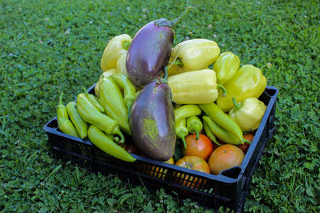 Freshly picked vegetables in a plastic crate. Fresh vegetables grown in the garden. Different types of peppers, tomatoes, eggplants, etc. Zavidovici, Bosnia and Herzegovina.