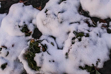 Snow fell on strawberry plants. A snow-covered strawberry plant, some strawberry leaves protruding above the snow in rows. Zavidovici, Bosnia and Herzegovina.
