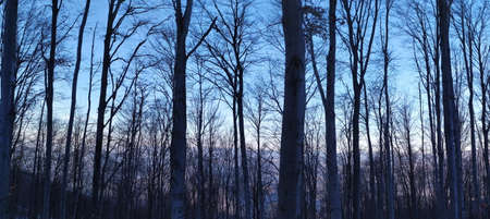Panorama of forest in winter. Panorama of trees in the forest in winter when the trees are free of leaves.
