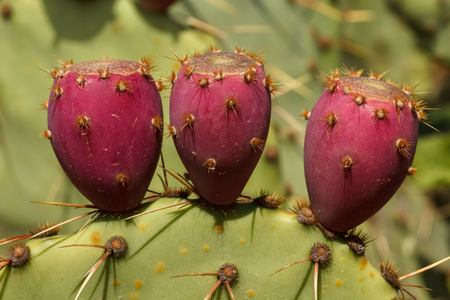 Close up of the red fruits of an Prickly Pear cactus. Opuntia Engelmannii Stock Photo