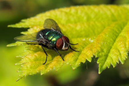 Close up of a common green bottle fly on a leaf