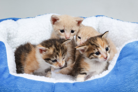 따뜻한 퍼지 침대에서 사랑스러운 아기 고양이입니다. 4 개의 작은 새끼 고양이의 스튜디오 샷 스톡 콘텐츠