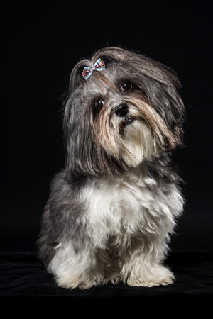 Portrait of a cute Bichon Havanese dog with ribbon bow, tilted head on black background. Stock Photo