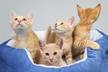 Adorable orange kittens in a warm cat bed. Studio shot of four curious little cat brothers Reklamní fotografie