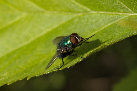 Macro shot of a common green bottle fly on a leaf. Shallow depth of field, focus on the eye