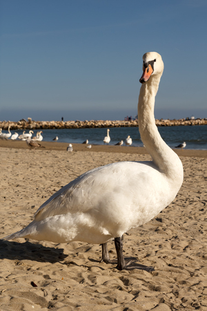 curiously: Mute swan on the beach, looking curiously to the camera