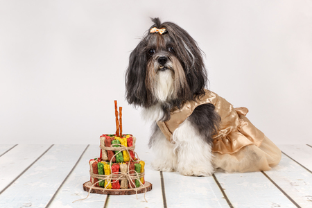 Cute Bichon Havanese dog dressed up in beautiful beige dress sitting next to birthday cake made of colorful bone shaped dog treats. Space for text  Stock Photo