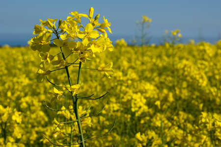 canola: Canola coleseed blossom, rapeseed field against blue sky