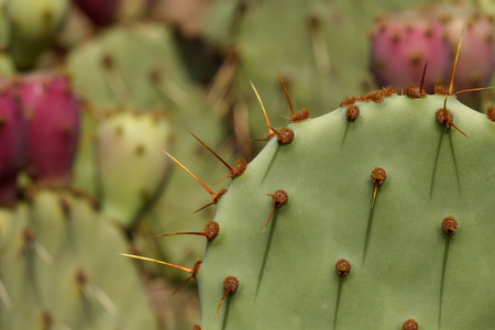 Close up of Opuntia Engelmannii cactus. Prickly Pear cactus with shallow depth of field and selective focus  Stock Photo