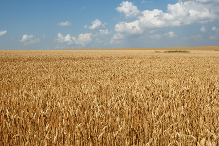Wheat field againts blue sky and beautiful clouds Stock Photo