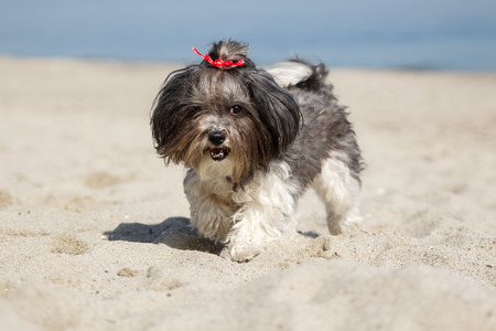 sun energy: Happy Bichon Havanese dog playing and running on the beach. Shallow depth of field Stock Photo