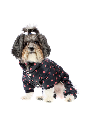 Cute and funny black, white and grey Bichon Havanese dog dressed with warm, winter coat with legs in dark navy blue and pink dots. Isolated on white background