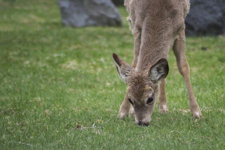 White-Tailed Deer (Odocoileus virginianus) Eats Garden Lawn Stock Photo