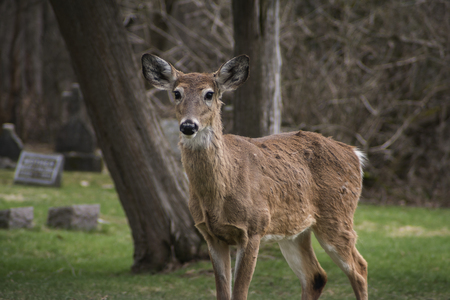 A Portrait of A White-Tailed Deer (Virginia Deer)