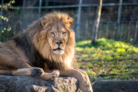 African Lion Resting on a Big Rock in a Sanctuary