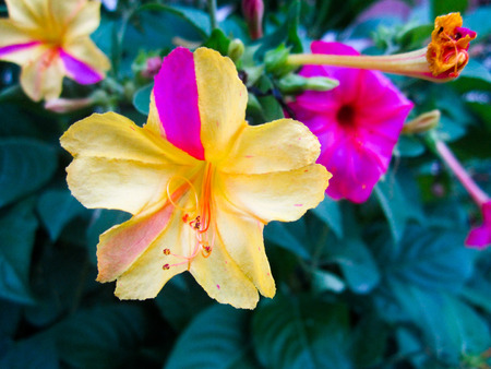 yellow pink flower, Flower wallpaper Stock Photo