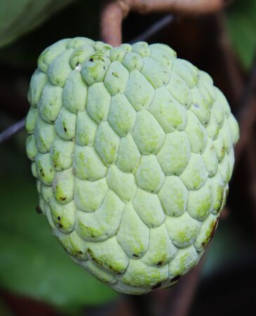 Fresh Green Custard Apple or Sugar Apple