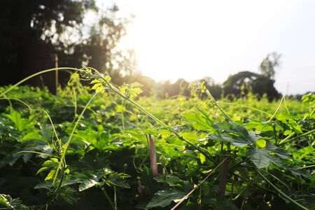 Bitter gourd field on sunny day with sky 版權商用圖片