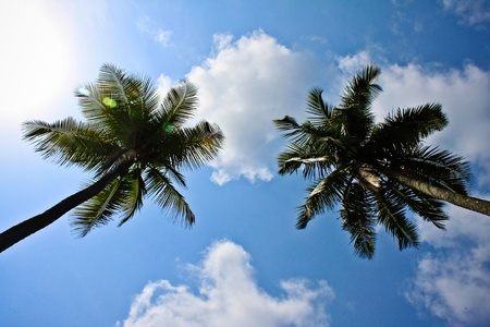 Two coconut tree facing each other. Stock Photo - 8339986