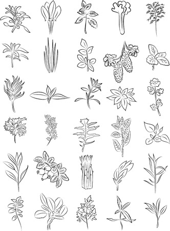 salvia: vector collection of fresh herbs in line art