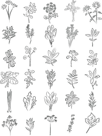 salvia: vector collection of fresh herbs in line art Illustration