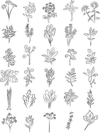 vector verzameling van verse kruiden in lijntekeningen