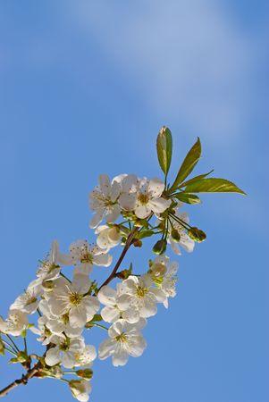 Cherry blossom against blue sky Stock Photo - 3022368