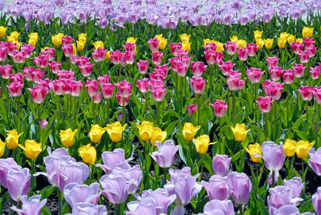 Multi-coloured field of tulips