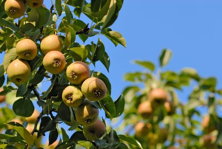 Ripe pears on a branch