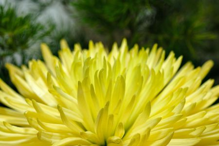 Bud of chrysanthemum flower Stock Photo - 6448218